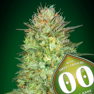 Auto sweet critical 00 seeds bank 19,50€