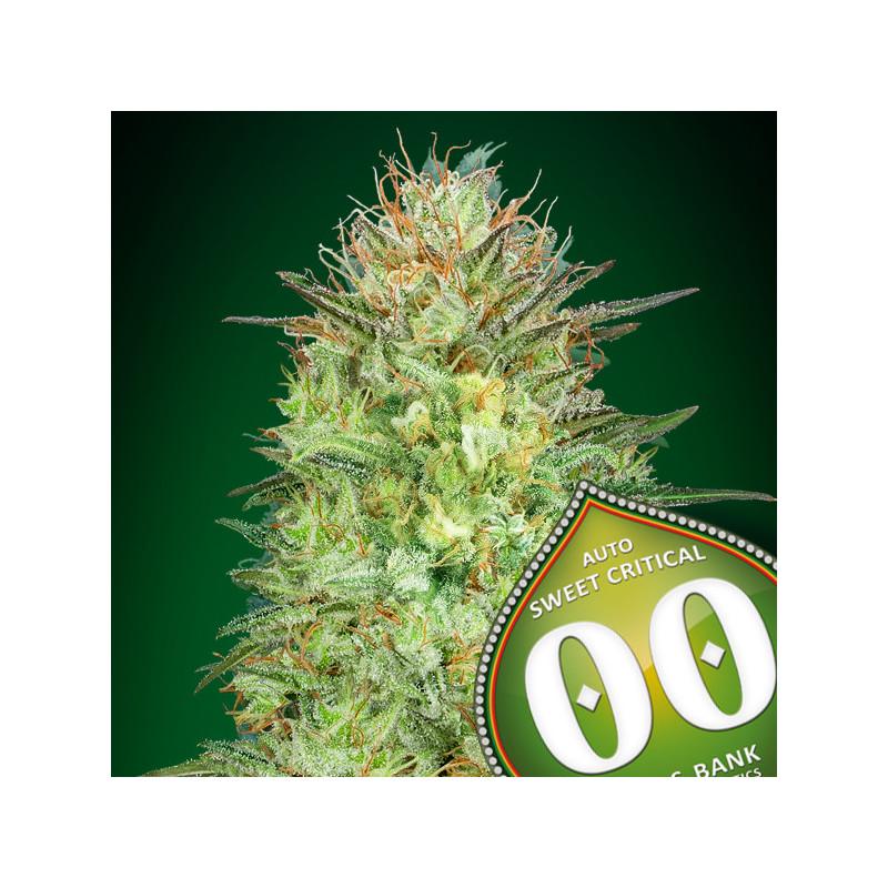 Auto sweet critical 00 seeds bank