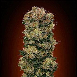 Auto sweet soma 00 seeds bank 19,50 €