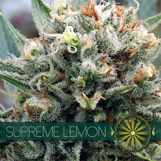 Supreme lemon vision seeds féminisée 22,50€