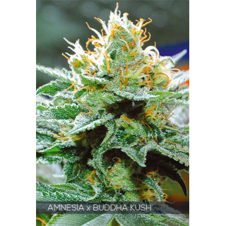 Amnesia x buddha kush vision seeds 30,00€
