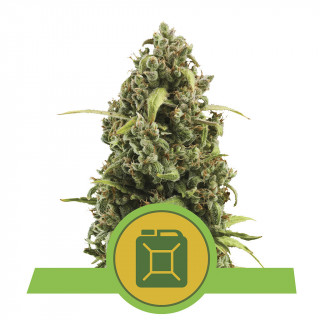 Diesel automatic royal queen seeds 21,50 €