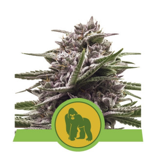 Royal gorilla automatic royal queen seeds 27,00 €