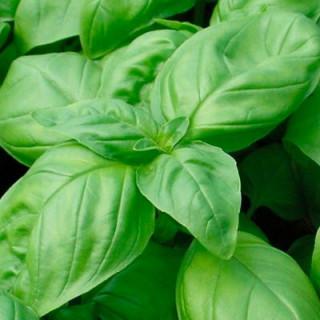 Basilic grand vert kokopelli sachet de 200 graines