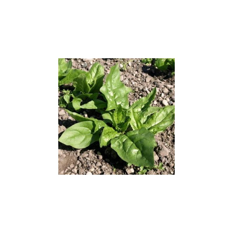 Épinards première récolte bio sachet de 10 gr