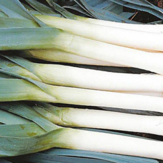 Poireaux bleu d'hiver bio sachet de 2 gr