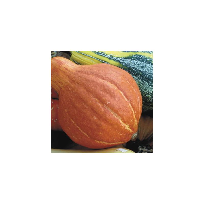 Courge maxima potimarron à gros fruits 24 graines