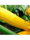 Courgettes jaune sans col lisse bio sachet de 12 graines 3,40€
