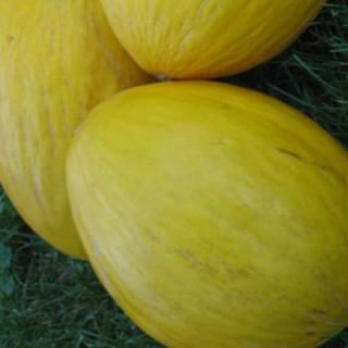 Melon crenshaw bio sachet de 25 graines