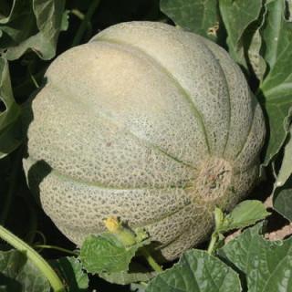 Melon de Montréal bio - sachet de 25 graines