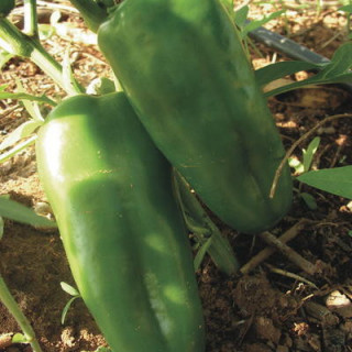 Poivron chinese giant bio - sachet 25 graines