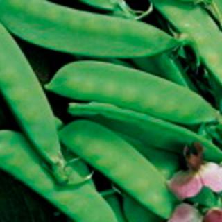 Pois gourmand de weggis bio - sachet de 60 gr