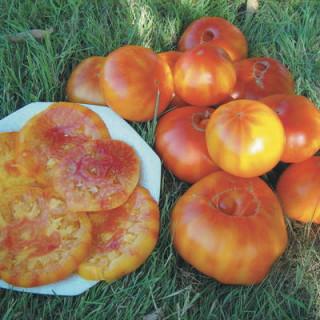 Tomate bigarrée ananas bio - sachet 35 graines