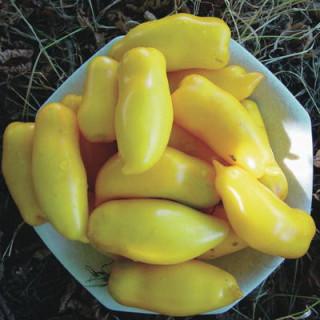 Tomate jaune banana legs bio - sachet de 35 graines