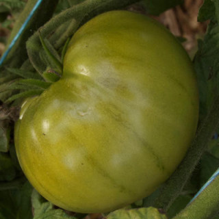 Tomate verte absinthe bio sachet de 35 graines 3,40€