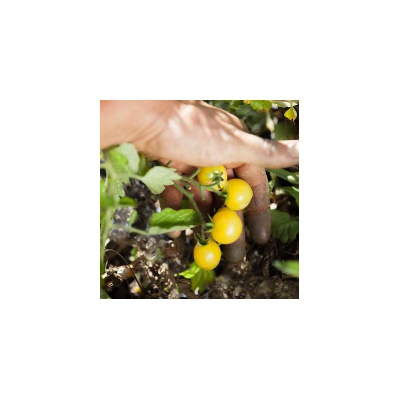 Tomate cerise blanche bio sachet de 35 graines 3,40€