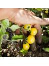 Tomate cerise blanche bio sachet de 35 graines