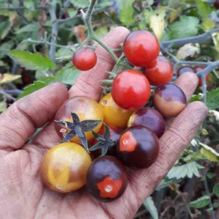 Tomate cerise indigo blue berries bio - 35 graines