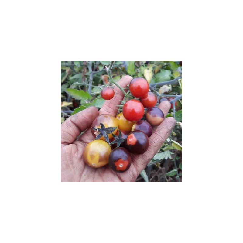 Tomate cerise indigo blue berries bio - 35 graines