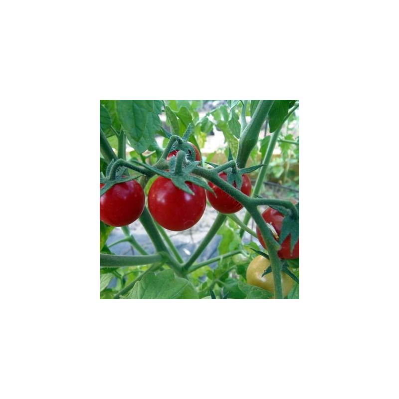 Tomate cerise rouge ambrosia red bio - 35 graines