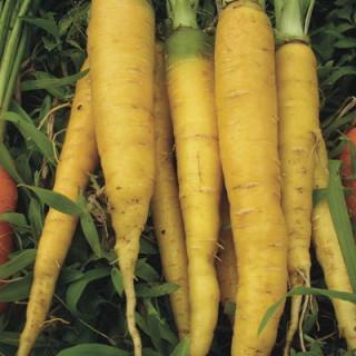 Carotte jaune du Doubs bio - sachet de 4 gr