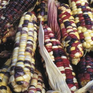 Maïs doux arc en ciel inca bio - sachet 30 gr