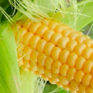 Maïs doux golden bantam bio - sachet 30 gr 3,40€