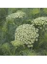 Ammi green mist bio - sachet de 200 graines 3,40€
