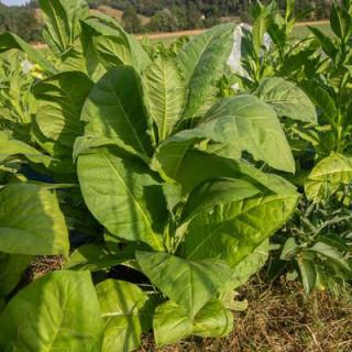 Tabac bamboo shoot bio - sachet de 400 graines 3,40€