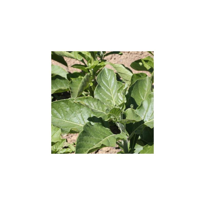 Withania africain bio - sachet de 50 graines
