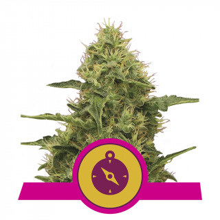 Northern light royal queen seeds féminisée 32,50 €