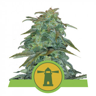 Royal haze auto royal queen seeds 21,50 €