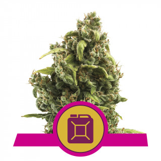 Sour diesel royal queen seeds féminisée