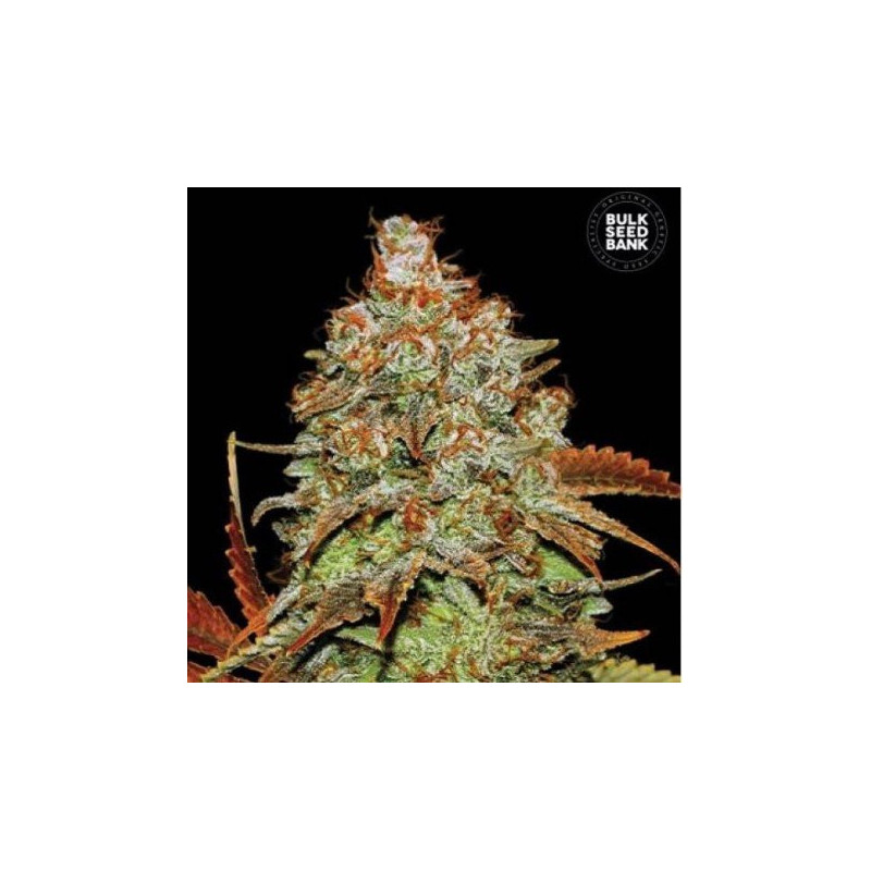 Auto bubble gum extra bulk seeds