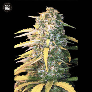Auto white widow bulk seeds