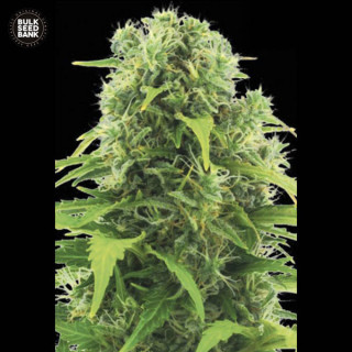 Auto Northern light bulk seeds