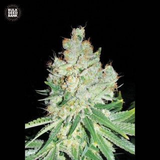 Auto cheese bulk seeds