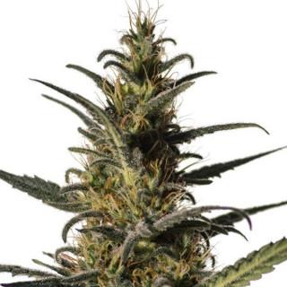 Candida CD-1 médical marijuana genetics