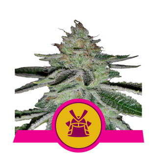 Shogun royal queen seeds 27,00 €
