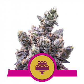 Wedding gelato royal queen seeds féminisée