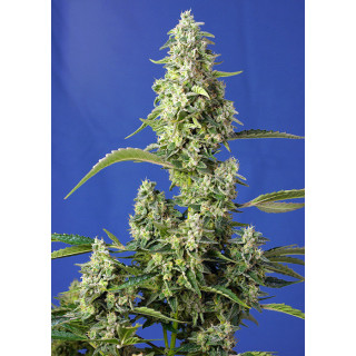Gorilla girl XL auto sweet seeds 24,70 €