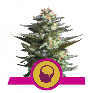 Amnesia haze féminisée royal queen seeds