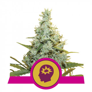 AMG - amnesia mac ganja - royal queen seeds féminisée