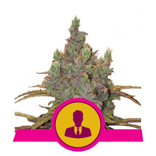 El patron royal queen seeds féminisée