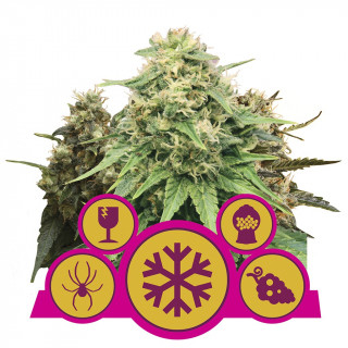 Feminized mix royal queen seeds