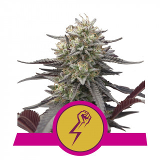 Green crack punch royal queen seeds féminisée