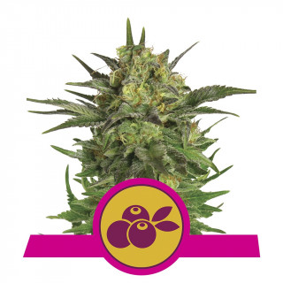 Haze berry royal queen seeds féminisée