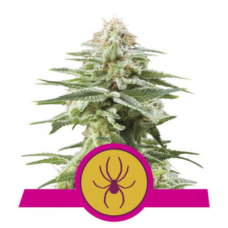 White widow royal queen seeds féminisée