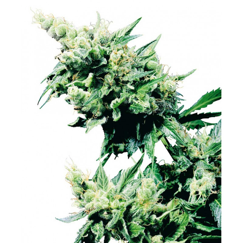 Hash plant sensi seeds régulières