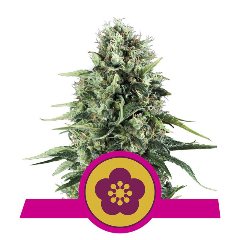 Power flower royal queen seeds féminisée